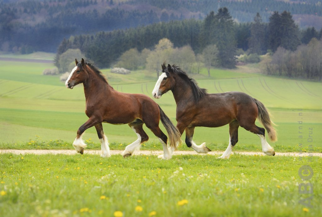 Duo Clydesdales