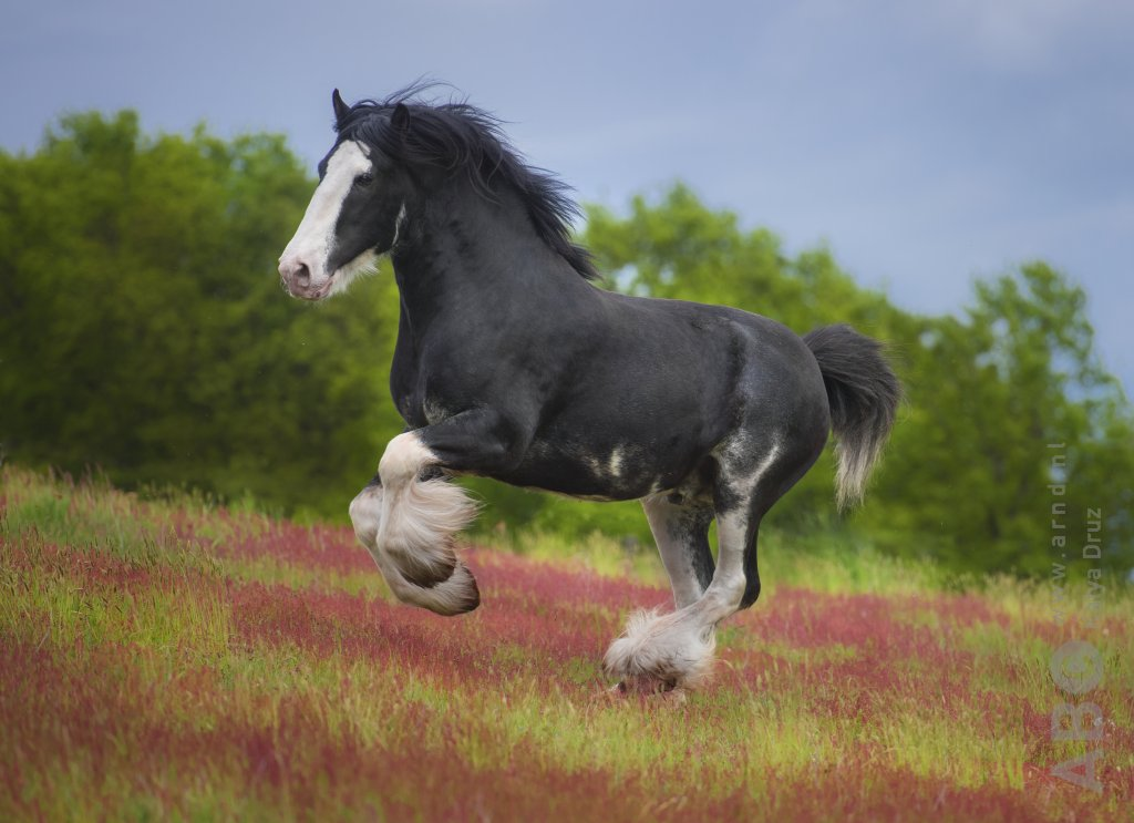 Galop Clydesdale